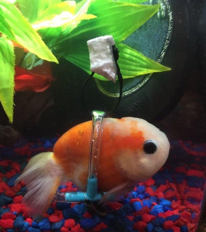 Кресло-коляска для больной рыбки