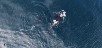 """""""Кит-убийца"""" проглотил акулу."""