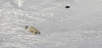 В «Русской Арктике» завершилась экспедиция по изучению белых медведей