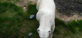 """На полярной станции о. Вайгач будет реализован проект WWF по предотвращению конфликтов """"человек – белый медведь""""."""