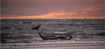 150 чёрных дельфинов выбросились на берег в Новой Зеландии