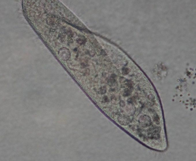 Инфузория туфелька (Paramecium sp.)