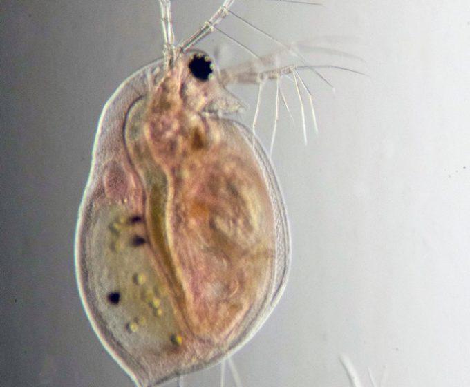 Обыкновенная дафния (Daphnia pulex)