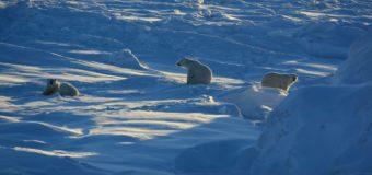 Мы стоим на пороге глобальных изменений привычного уклада жизни белого медведя