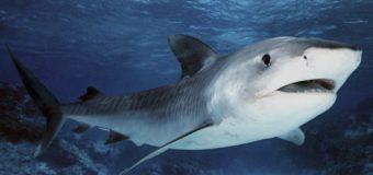 Следы ядерных испытаний помогли ученым вычислить возраст китовых акул