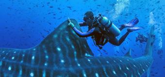 Исследователь записал хриплый голос китовой акулы