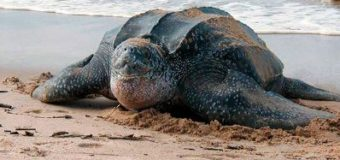 На Пхукет впервые за 20 лет вернулись группы редких кожистых черепах
