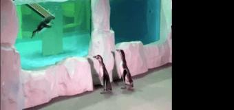 Пингвины гуляют по пустому океанариуму (видео)