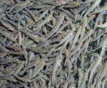На Камчатке в реку выпустили 1,5 млн мальков лосося