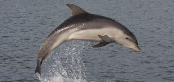 У берегов Финляндии впервые за почти 70 лет заметили дельфинов-афалин