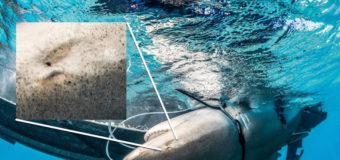 Учёные обнаружили одноглазую акулу