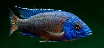 Аулонокар – рыбка с потомством во рту