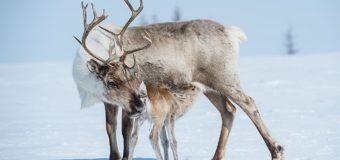 Северные олени умеют менять цвет своих глаз