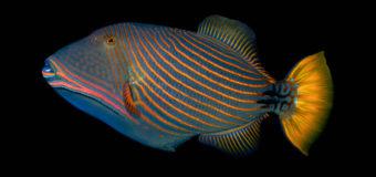 Спинорог – хрюкающая рыба с зубами в два ряда