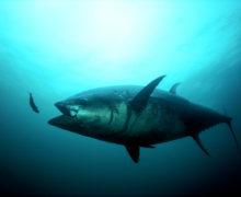 2 мая – Всемирный день тунца