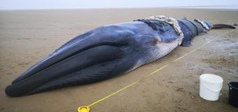 14-тонного кита выбросило на берег в Британии