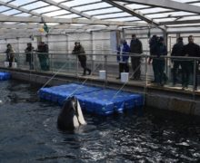ВРоссии ускорят разработку поправок взаконы поотлову китообразных