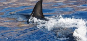 Содержание ртути в плавниках акул превышает допустимые в 6-10 раз!