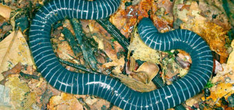 У южноамериканской амфибии нашли ядовитые железы