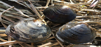 Чужие «хищники»: гигантские китайские моллюски захватили Волгу