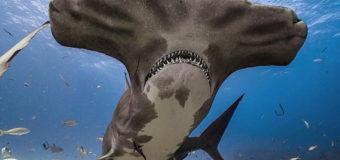 """Зачем акуле-молот такой большой """"нос""""?"""