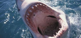 Чем питаются белые акулы: новое исследование