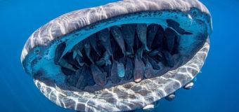 Фото дня: толпа хитрых ремор путешествует по океану во рту у китовой акулы