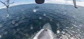 На Сахалине серый кит «плюнул» в лицо морскому биологу из Москвы