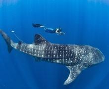 Самая большая загадка океана – почему никто не видел как рождается китовая акула, самая большая рыба планеты?