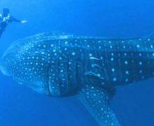 Китовая акула просит помощи (видео)