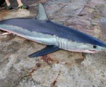 Житель Владивостока подстрелил из подводного ружья акулу-мако