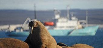 Численность моржей в Печорском море сокращается