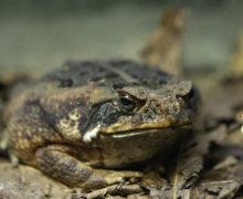 Cамую большую жабу Приморского океанариума покажут посетителям