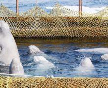 Фонд защиты китов борется в суде за запрет отлова касаток и белух
