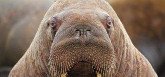 24 ноября – день моржа