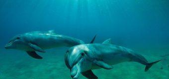 Экологи сняли охоту дельфинов на кефаль в Черном море