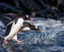 Предложен новый проект, который защитит пингвинов в моменты таяния ледников