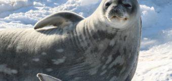 В Антарктиде обнаружены тюлени, общающиеся в воде ультразвуком