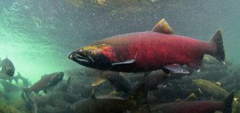 «Король рыб»  добрался до Камчатки