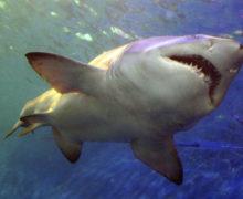 В Германии нашли скелет одной из крупнейших акул юрского периода