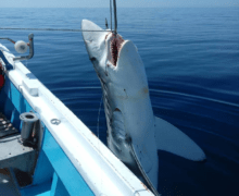 Популяция океанических акул сократилась на 71% за полвека