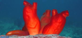 Удивительный океан: морские кувшины