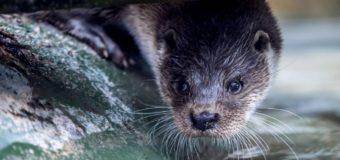 Московский зоопарк показал, как мяукает выдра