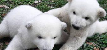 Двум детёнышам красноярского медведя Седова просят придумать имена