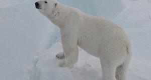 В Арктике стартовала экспедиция по изучению белого медведя